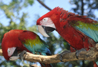 Green-wing macaw