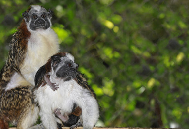 Geoffroy's Tamarin Monkeys