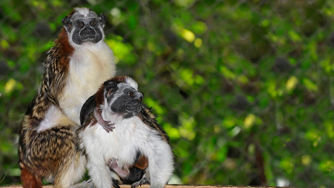 Mono tamarino