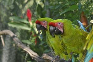 NATUWA develops a Macaw Conservation Program with Ara ambiguus