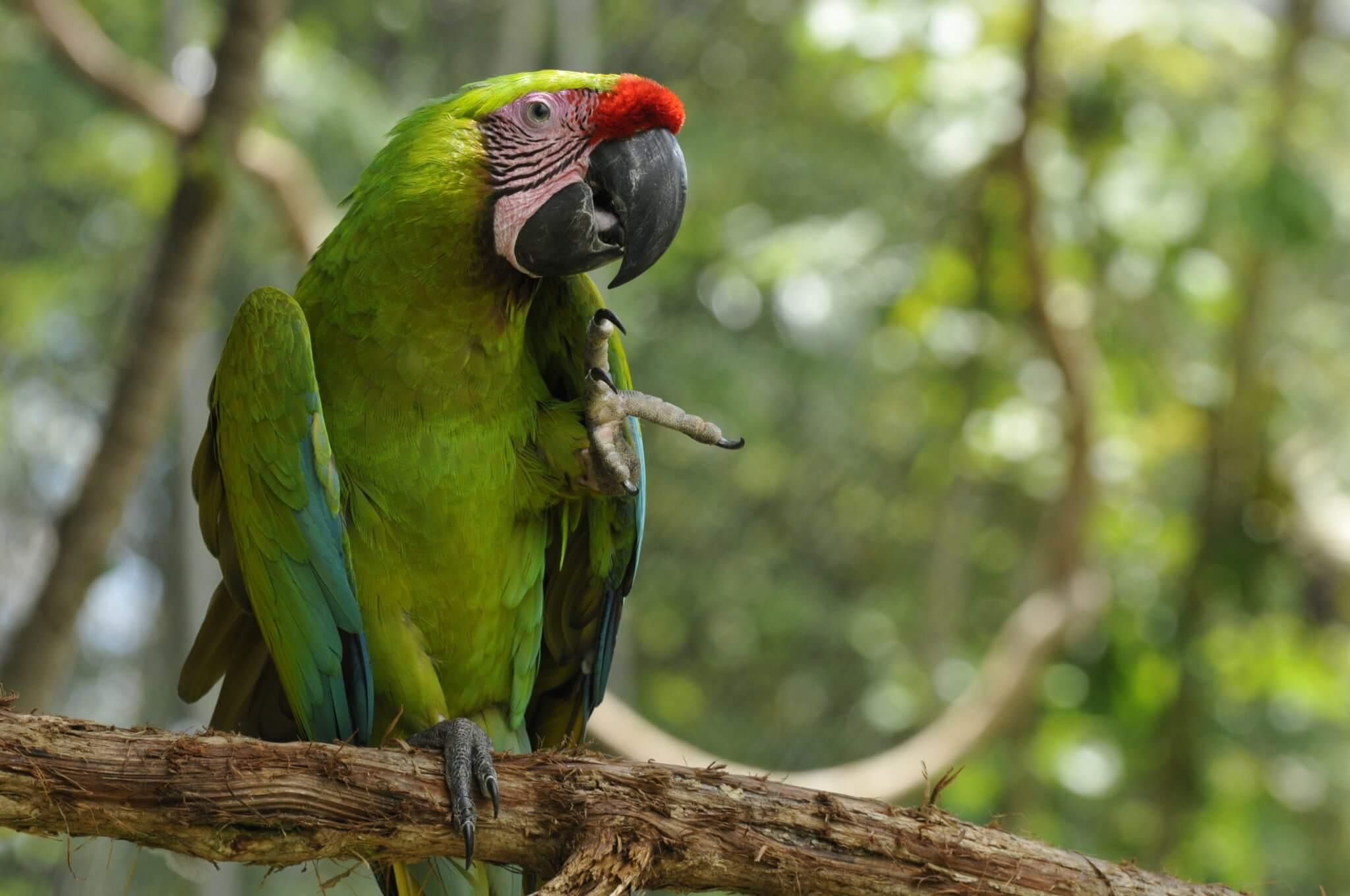 Ara ambiguus, macaw conservation project NATUWA