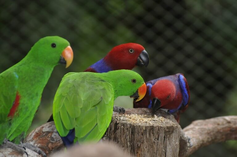 The Eclectus parrot