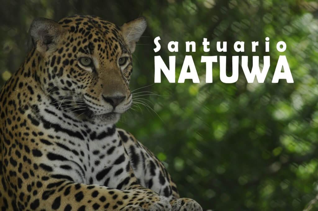 Meet Onka the female Jaguar and the males jaguars, Baguira, Dinamu and Bolas.