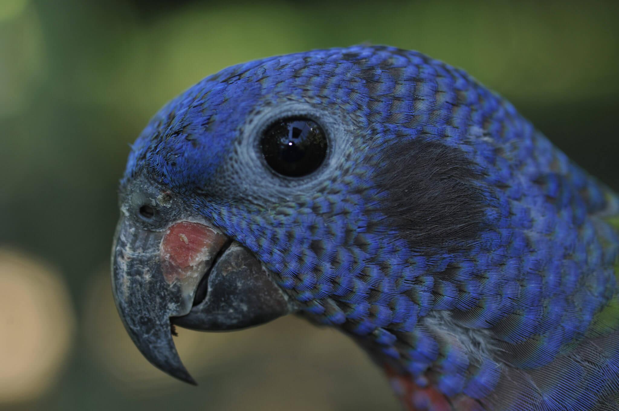 Loro cabeza azul