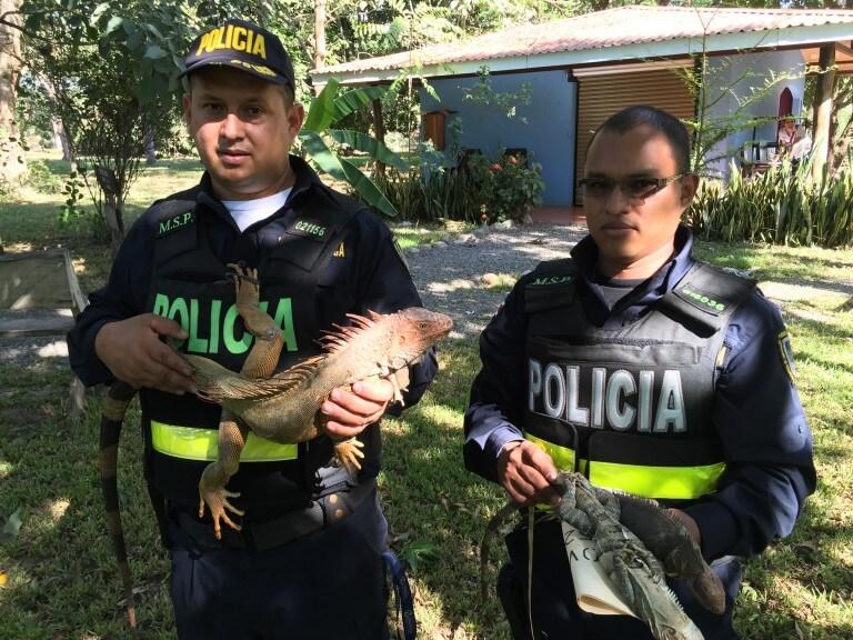 Green Iguana (<i>Iguana iguana</i>)
