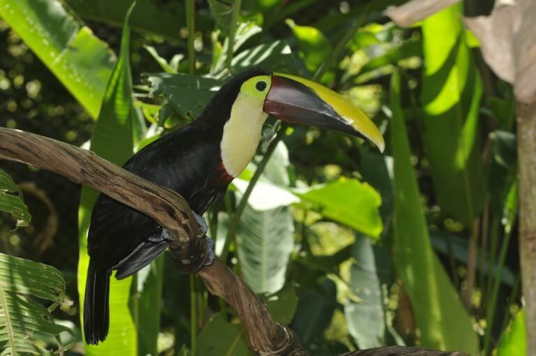 Tucán bicolor