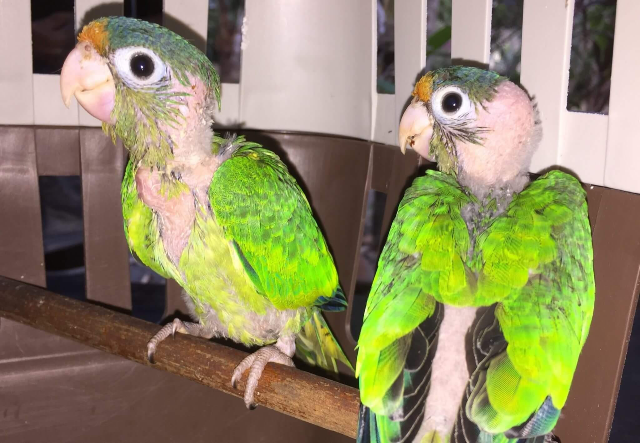 You are currently viewing Catano Parakeet (<i>Eupsittula canicularis</i>)