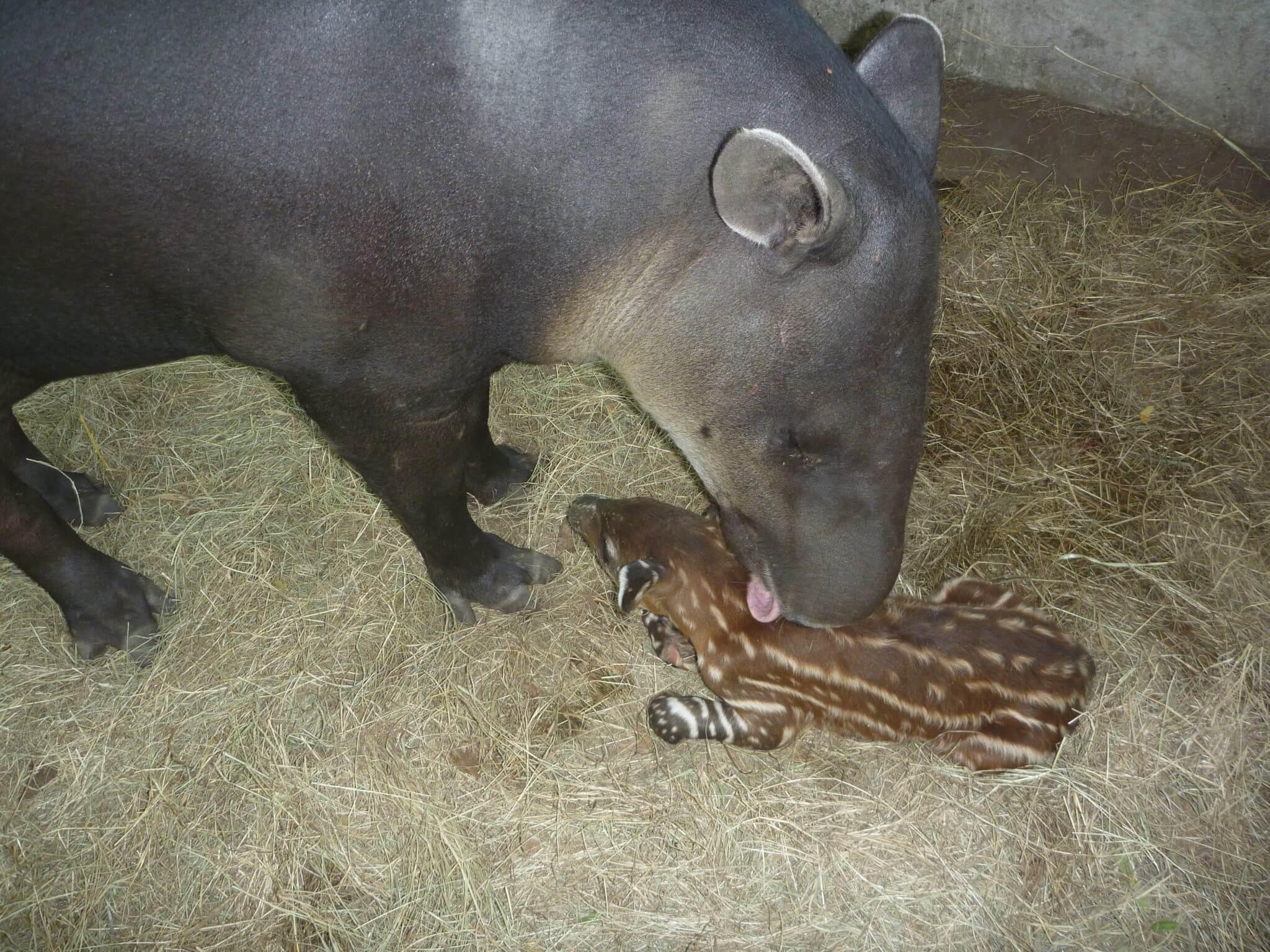 En este momento estás viendo Nacimiento de Tapir (<em>Tapirus bairdii</em>)