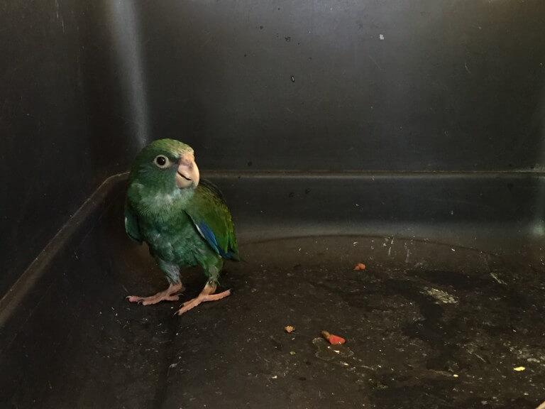 Chucuyo Parakeet