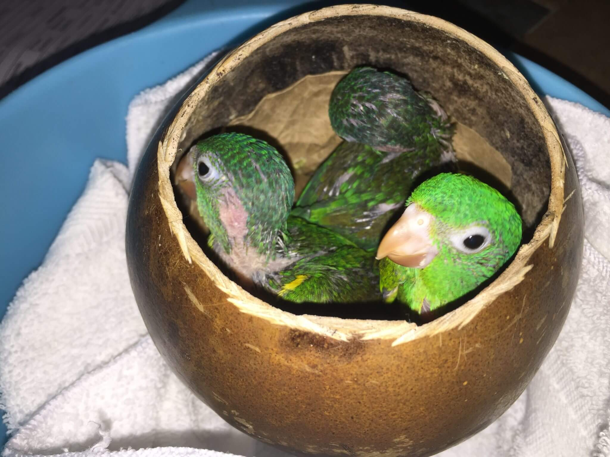 You are currently viewing Orange-chinned Parakeet (<em>Brotogeris jugularis</em>)