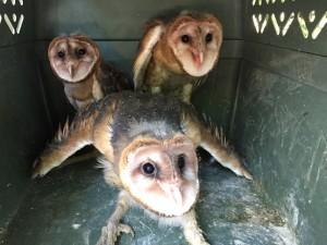 Barn Owl (<i>Tyto alba</i>)