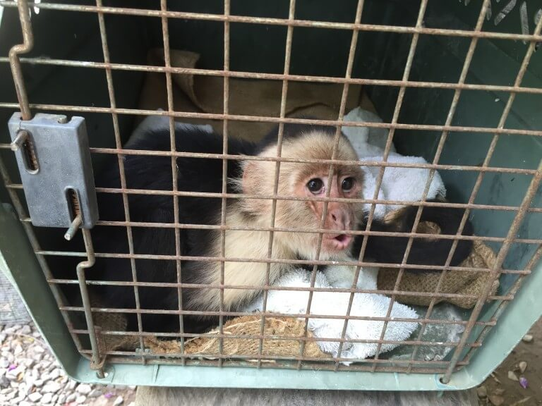 Read more about the article White-faced monkey (<i> Cebus imitator </ i>)