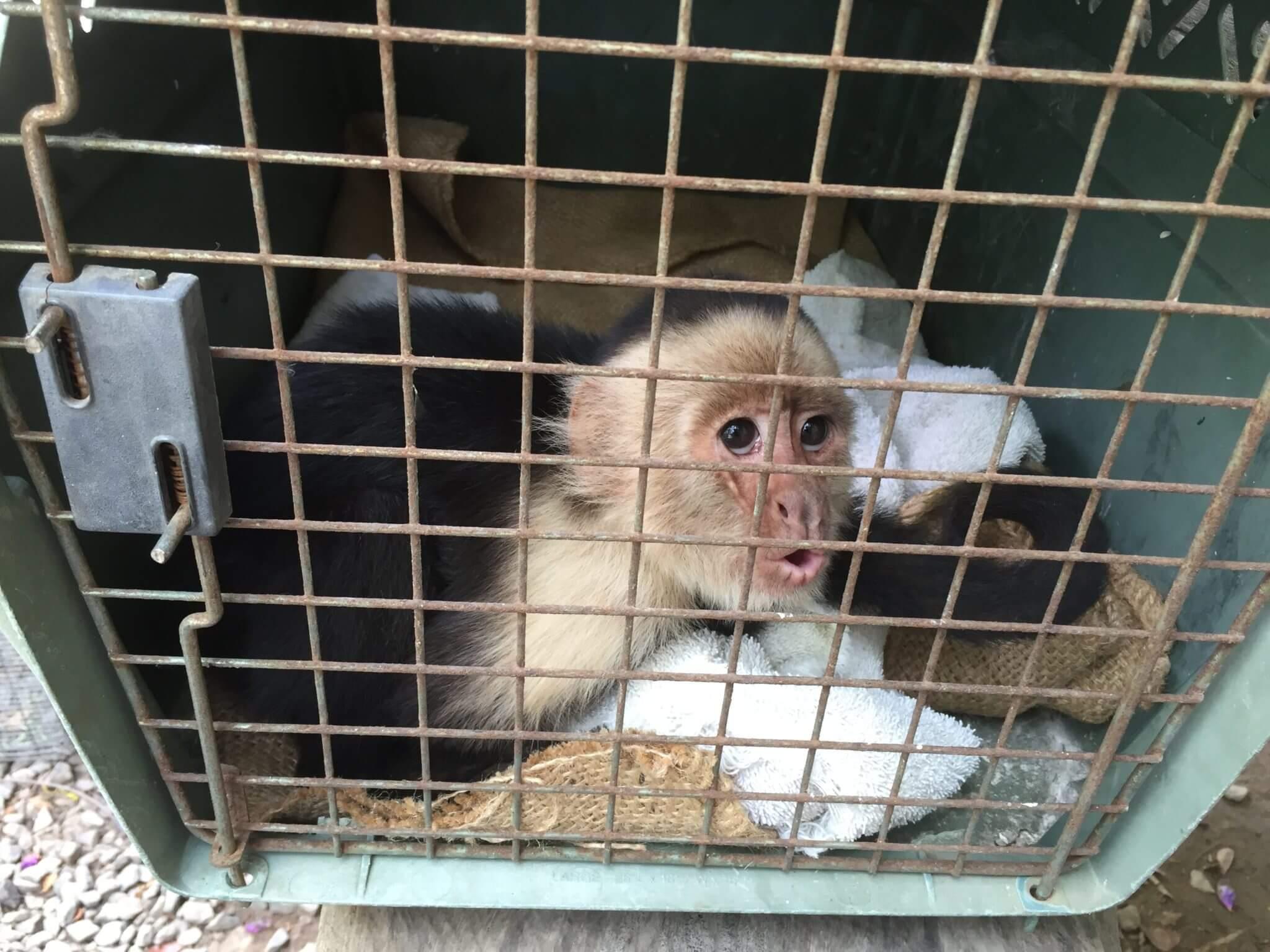 Mono cara blanca (<i>Cebus imitator</i>)