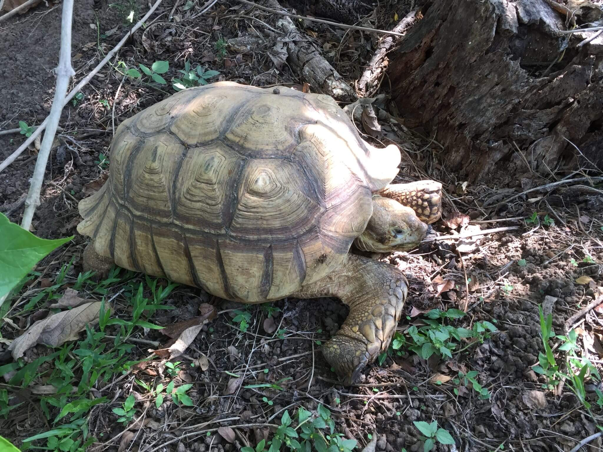 Tortugas (<em>Geochelone sulcata</em>)