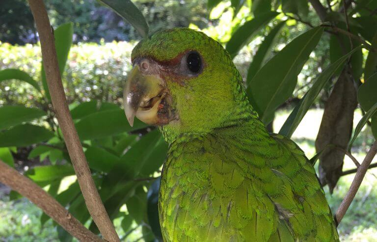 Read more about the article Cotorra (<em>Amazona albifrons</em>)