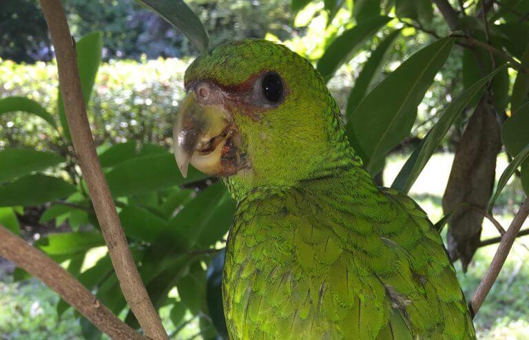 Cotorra (<em>Amazona albifrons</em>)