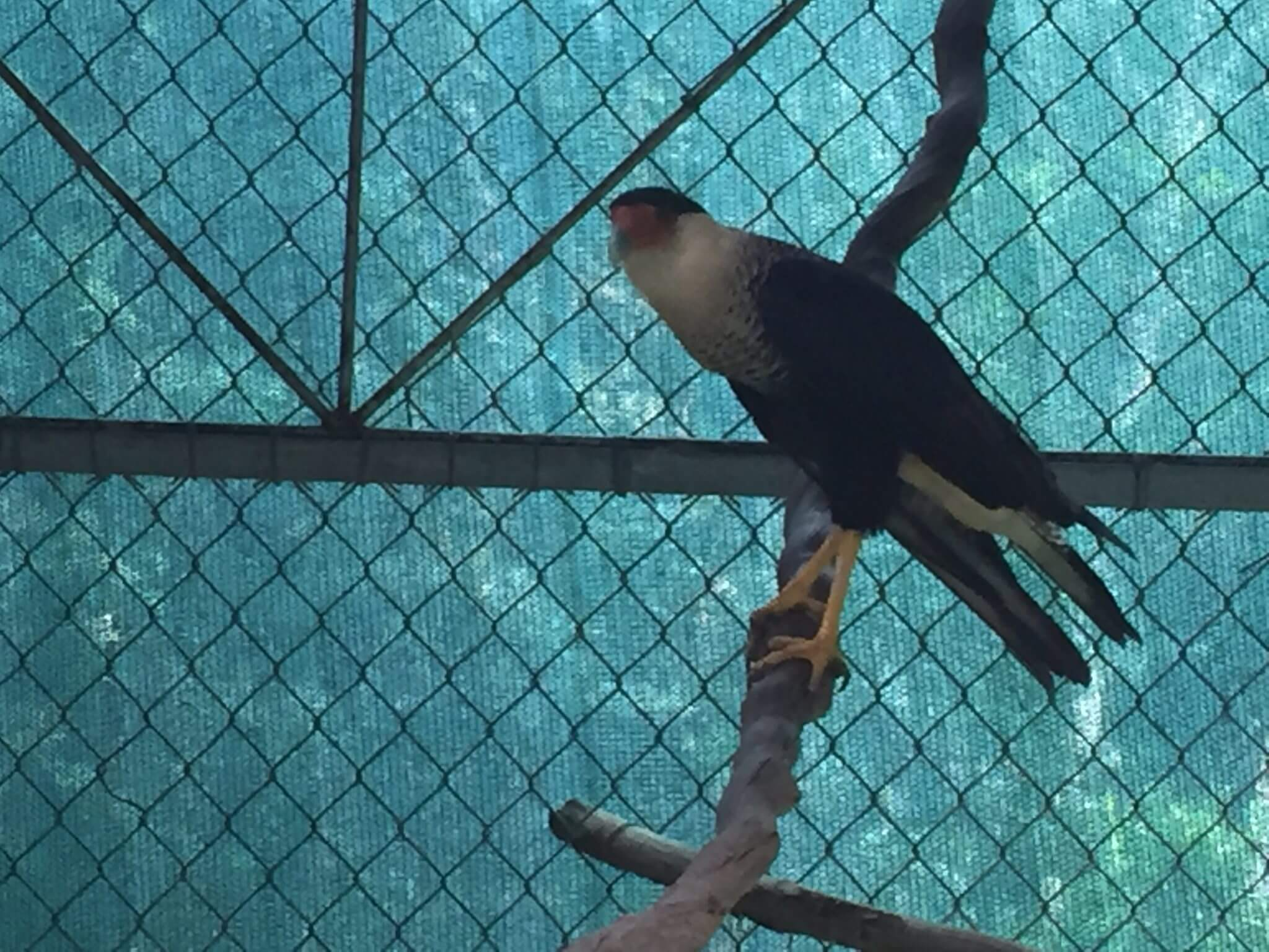 You are currently viewing Northern Crested Caracara <em> Caracara cheriway </em>