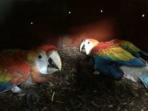 Breeding of scarlet macaws in artificial nests.
