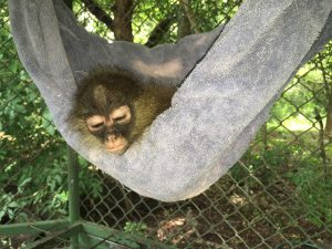 Mono araña (<em>Ateles geoffroyi</em>) huérfano.