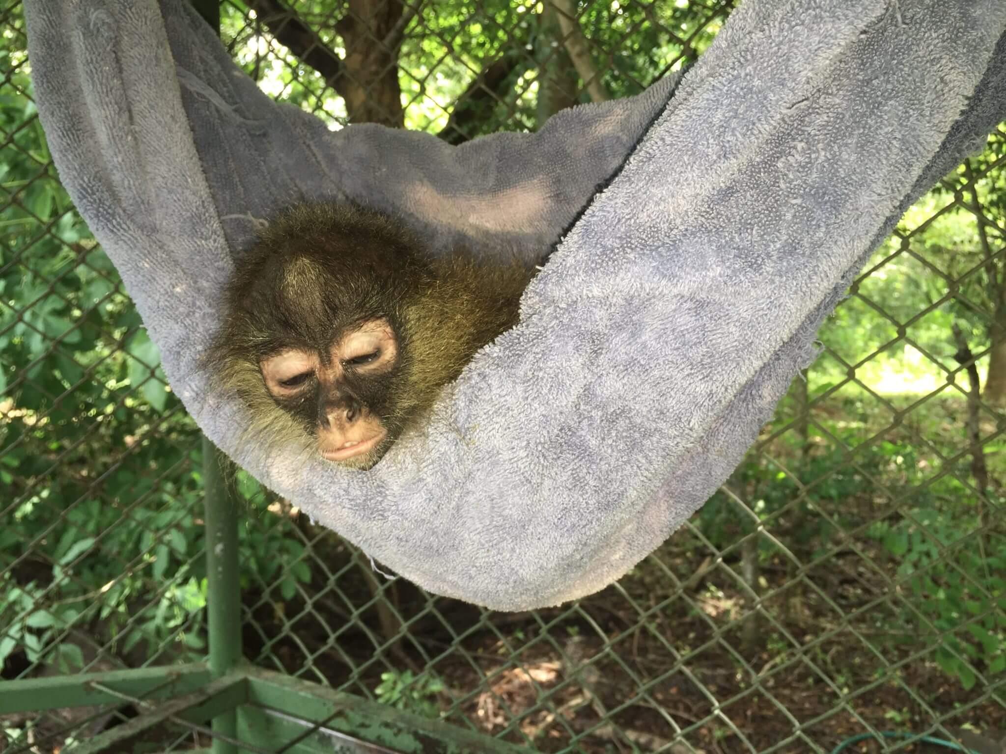 En este momento estás viendo Mono araña (<em>Ateles geoffroyi</em>) huérfano.