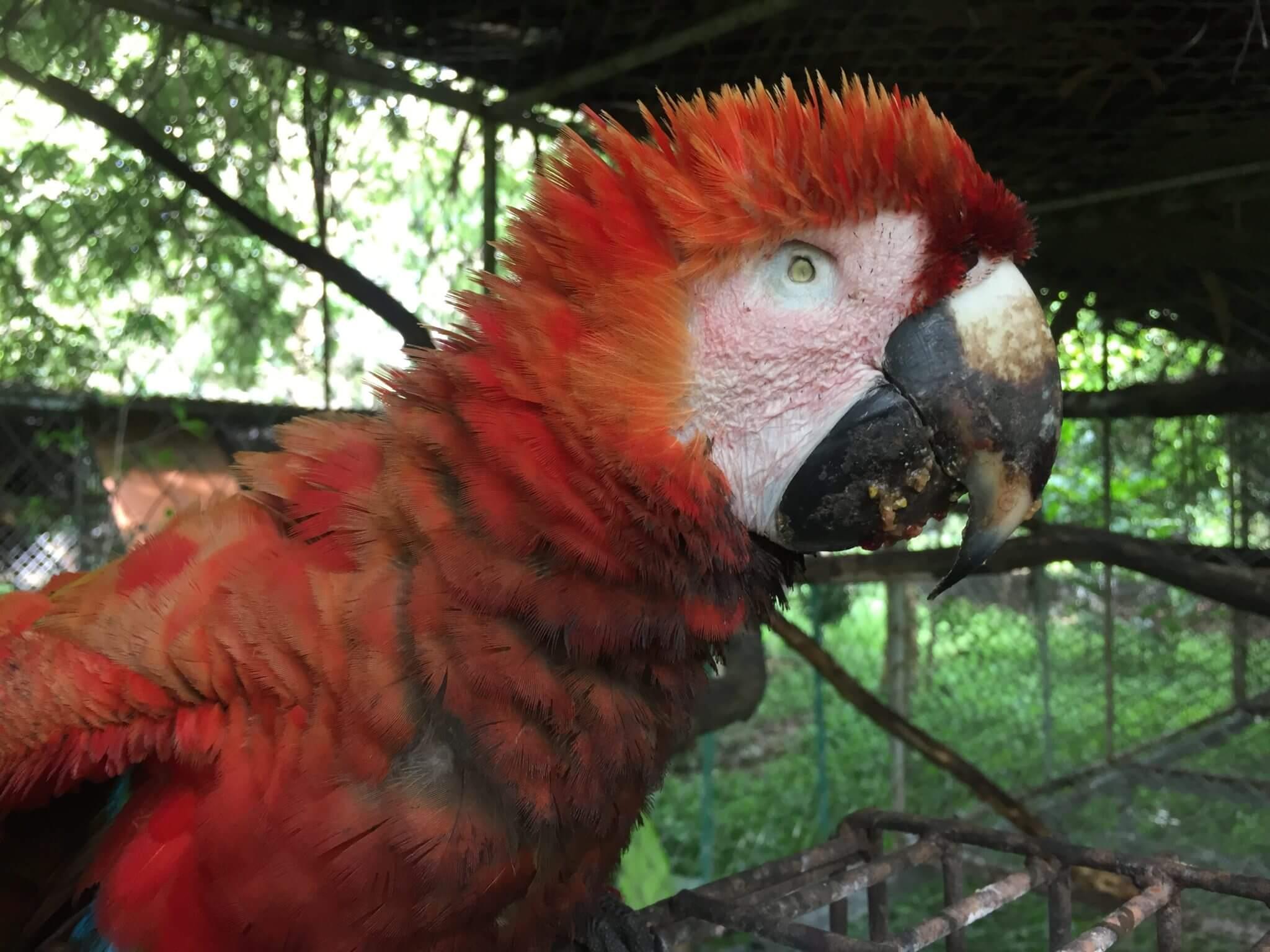 Guacamayo rojo (<em>ara macao</em>) rescatado en Tárcoles.