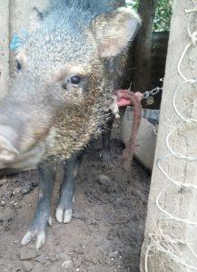 Saino crece estando encadenado (<em>Pecari tajacu</em>).