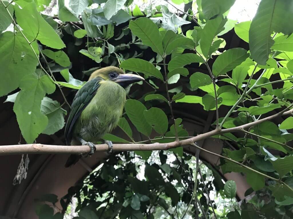 NATUWA - Toucánet Emerald Aulacorhynchus prasinus Cosa Rica