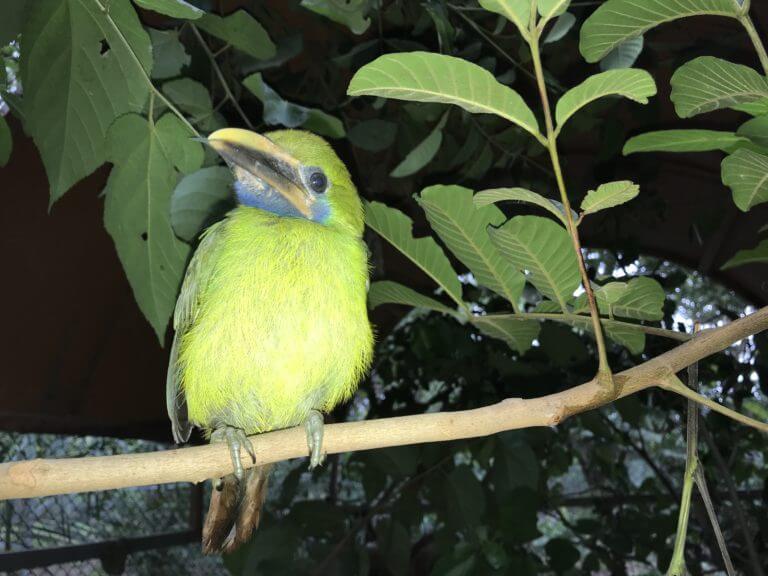 Emerald toucanet rescued