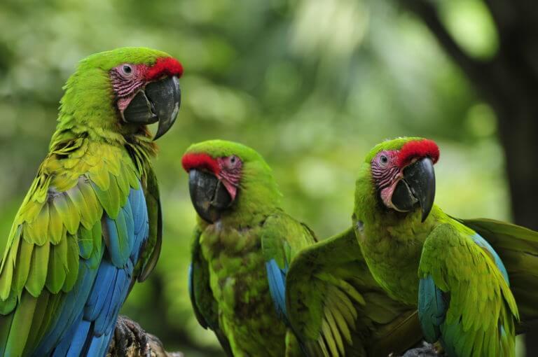 Macaw conservation NATUWA Costa Rica.