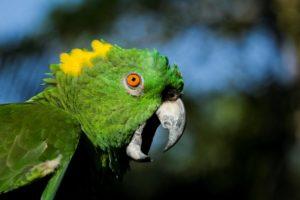 Amazona auropalliata
