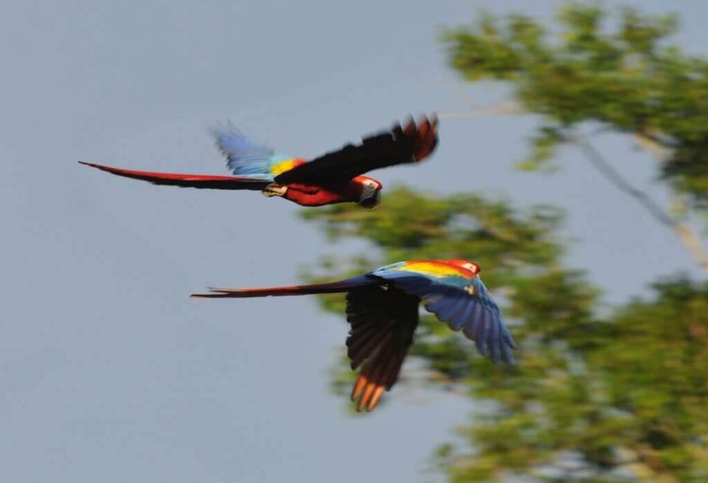 Macaw conservation by NATUWA Sanctuary
