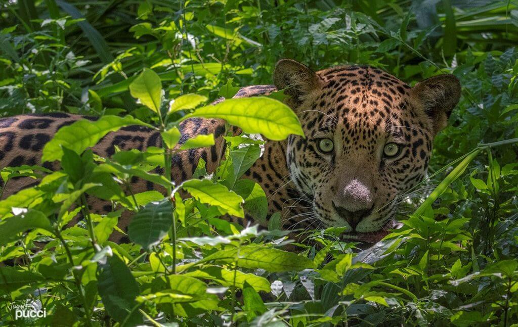 Wildlife volunteer learning about jaguars management