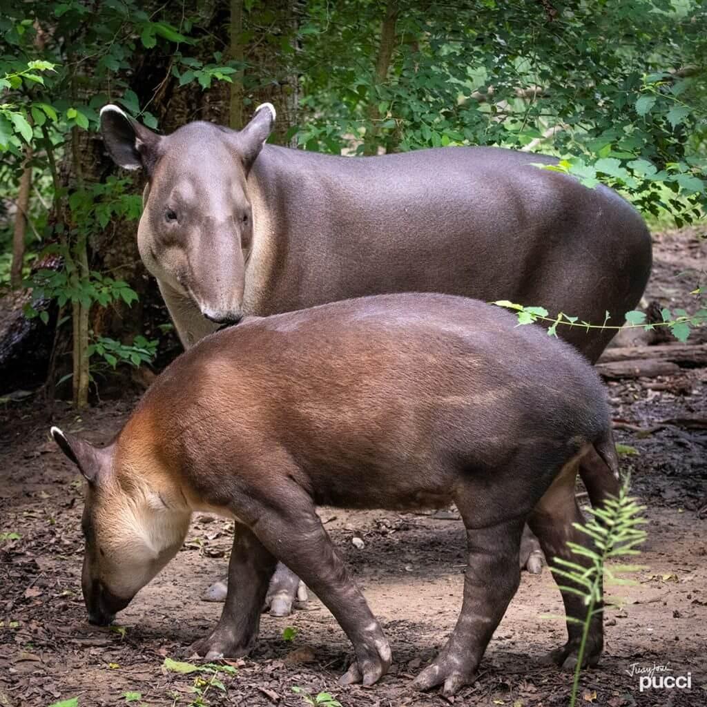 The tapir in NATUWA Costa Rica