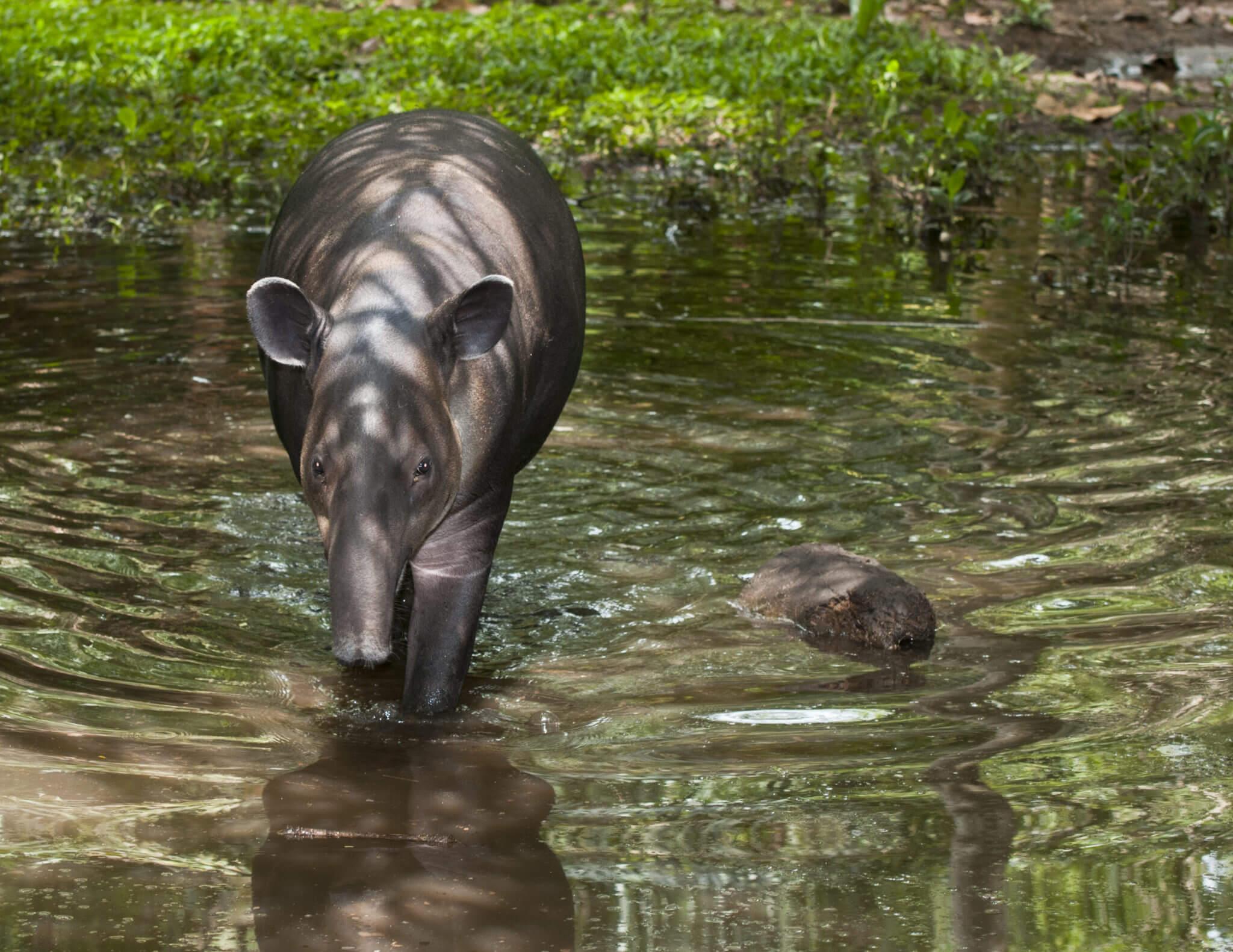 Bibri el tapir en el Santuario NATUWA, Costa Rica