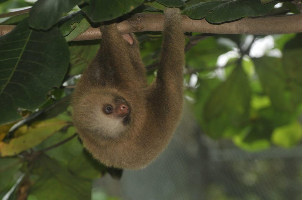 Oso perezoso rescatado por el Santuario NATUWA, Costa Rica