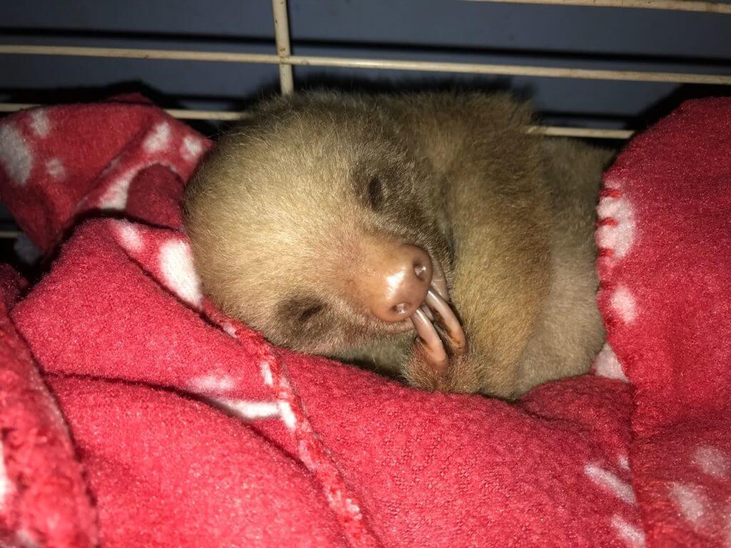 Baby Sloth rehabilitation by NATUWA Sanctuary Costa Rica