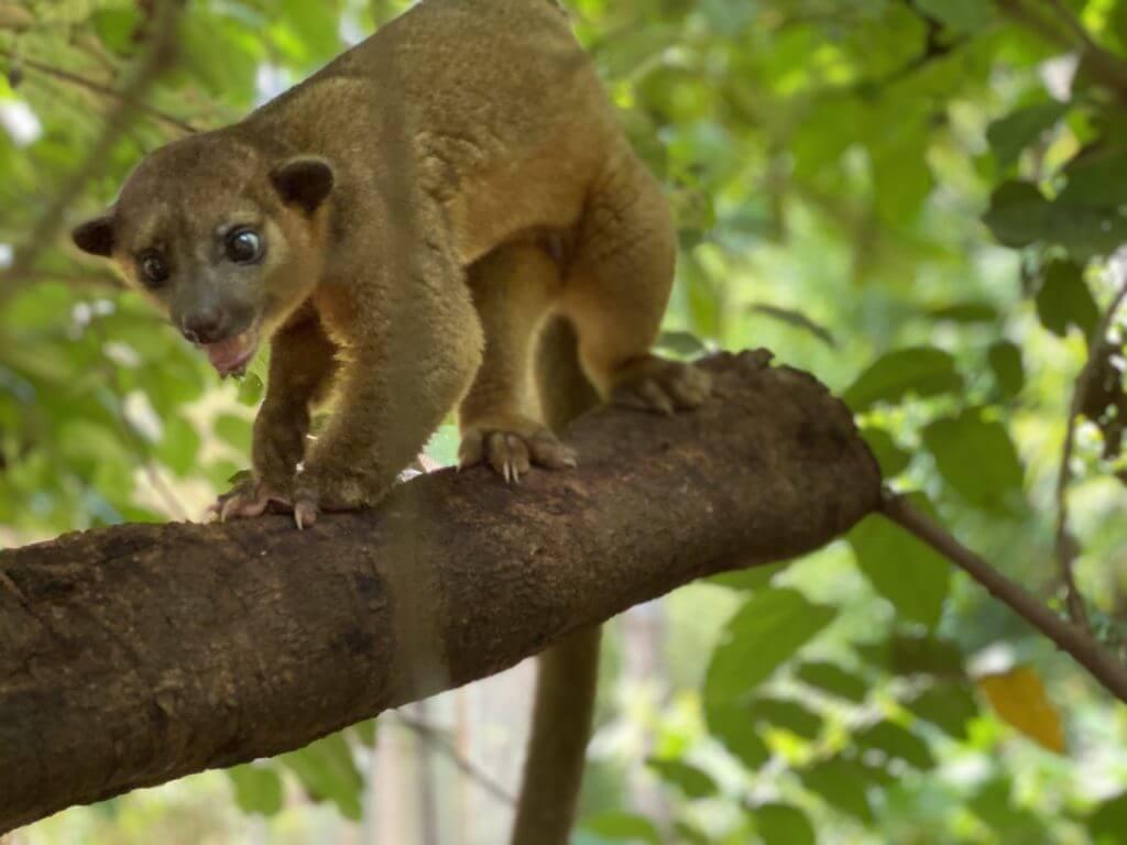 El Kinkajou mamífero arborícola