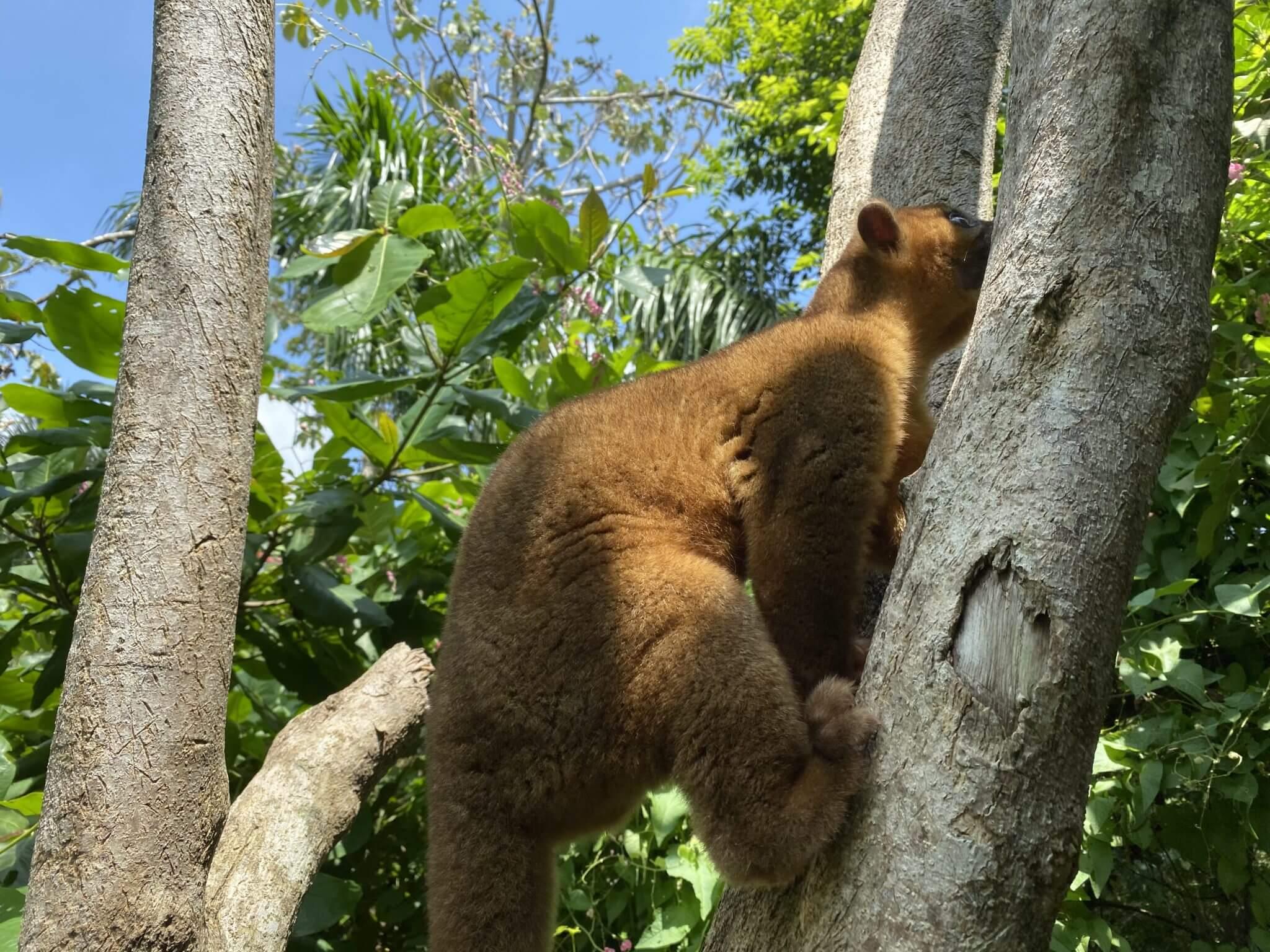 NATUWA Santuario de animales silvestres el Kinkajou