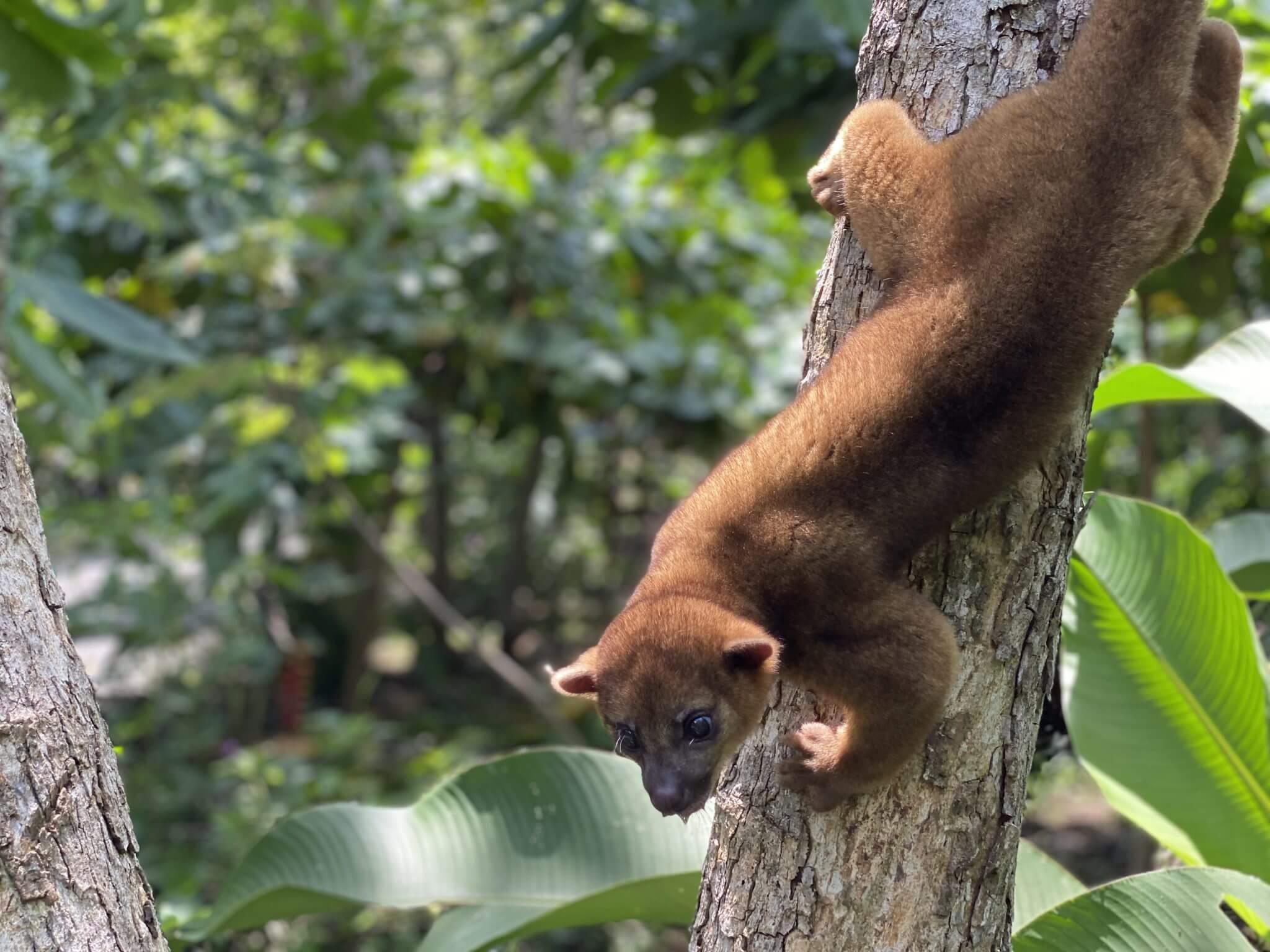 El Kinkajou en Costa Rica, NATUWA Santuario de animales silvestres