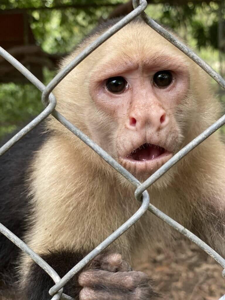 El mono cara blanca en cautiverio