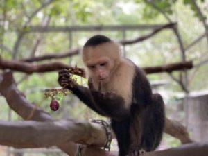 El Mono Carablanca (Rescate)